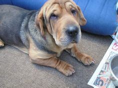 ba shar puppies 1000 images about ba shar on shar pei puppys and so in