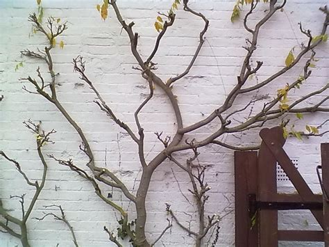 potatura glicine in vaso glicine wisteria wisteria ricanti glicine