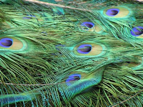 Picture Of Peacock Feather Wallpapers Peacock Feathers Wallpapers