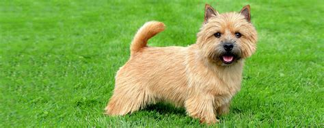Norwich Terrier Shedding by Norwich Terrier Breed Health History Appearance