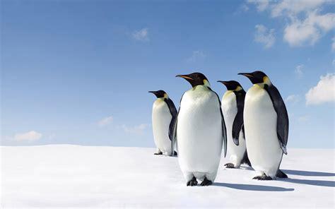witte achtergrond met 3d pingun met zonnebril en een ijsje pinguin achtergronden hd wallpapers