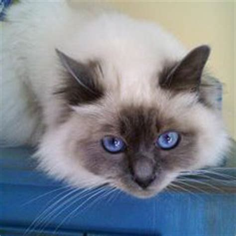 rag doll quotev current members cat takeover