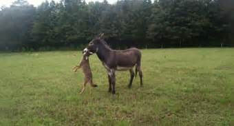 How To Get Rid Of Backyard Flies Buck The Donkey Doesn T Take Crap From Pesky Coyotes
