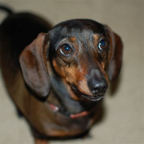 dachshund pictures miniature dachshund dogs pictures photos pics images