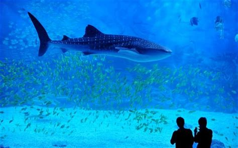 Small Saltwater Sharks For Home Aquariums China Crams Five Whale Sharks Into Relatively Small