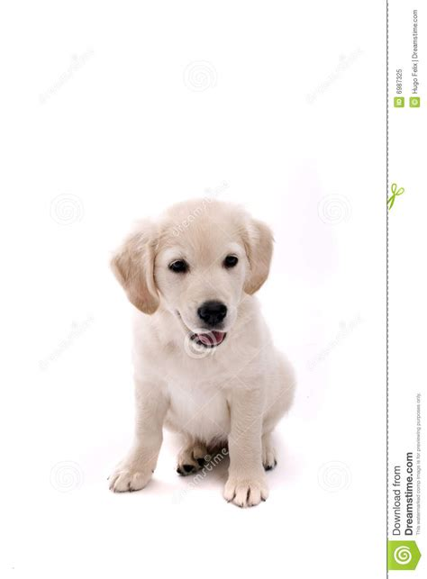baby golden retriever pictures baby golden retriever portrait royalty free stock photo image 6987325