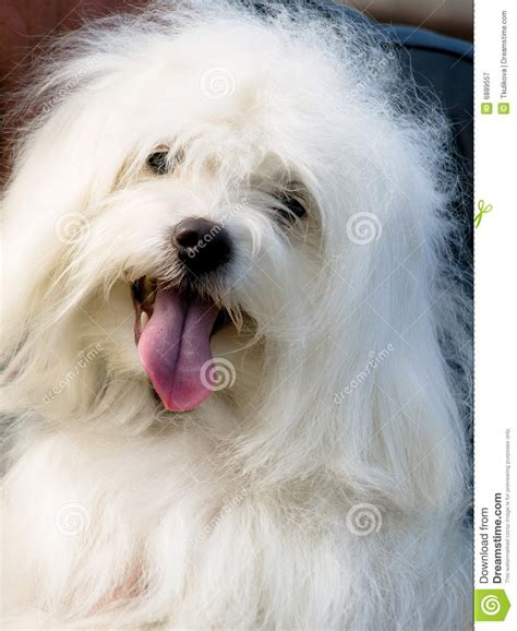 small white puppy small white breed odis royalty free stock photography image 6889557