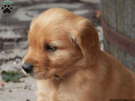 golden retriever pomeranian 1000 ideas about husky retriever mix on golden husky siberian husky