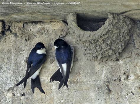 house martin common house martin nests photo nicolebouglouan photos at pbase com