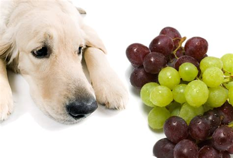 grapes toxic to dogs about grape and raisin poisoning in dogs pets and