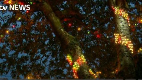 christmas lights come early for endangered sheffield trees