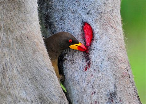 what is a bird finches and oxpecker birds drink blood