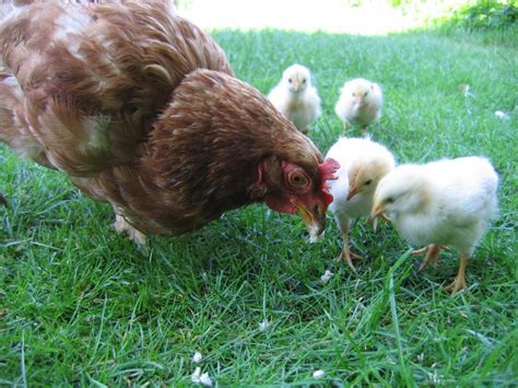 raising backyard chickens the two faces of raising chickens