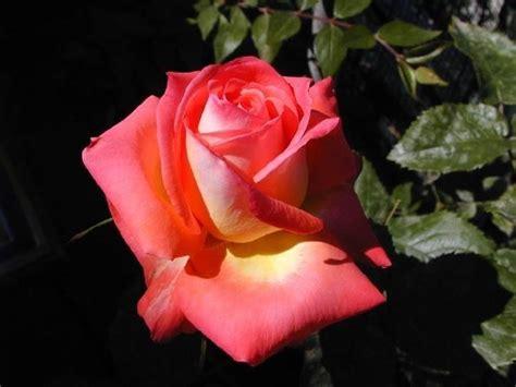 fiori color pesca fiore rosa caratteristiche della rosa