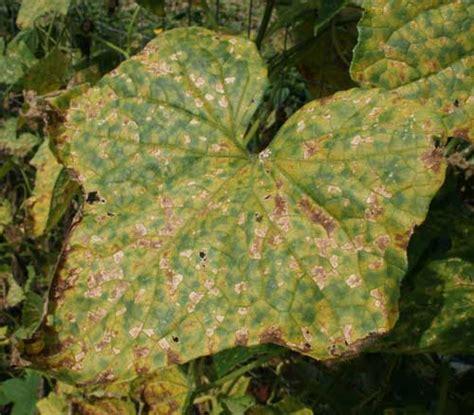 cucumber plant diseases pictures cucurbit downy mildew carolina cooperative extension