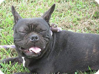 bulldog puppies rochester ny reo adopted puppy rochester ny bulldog