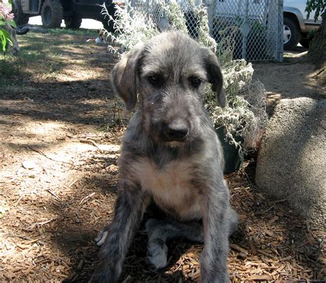 wolfhound puppy available wolfhound puppies hunt farms wolfhound breeder in california