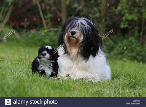 havanese adults havanese bichon havanais havaneser and puppy black and stock photo