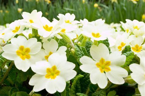 imagenes de flores blancas hermosas imagenes de flores blancas hermosas para computadora