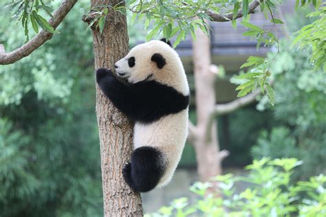 national zoos 23 year old przewalskis horse rolles dead worldnews giant panda bao bao moving to china next year