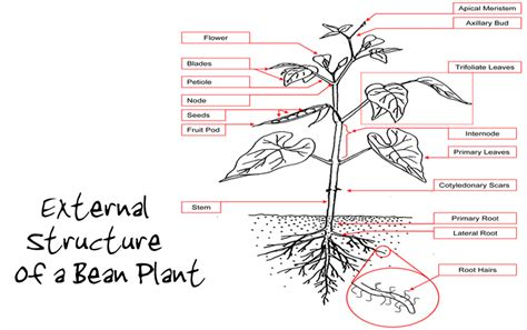 bean plant diagram my baby plants bean structure and function