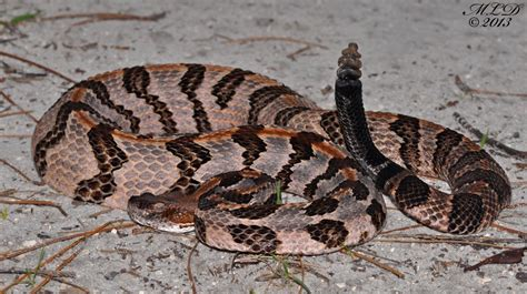 florida backyard snakes florida backyard snakes 28 images canebrake