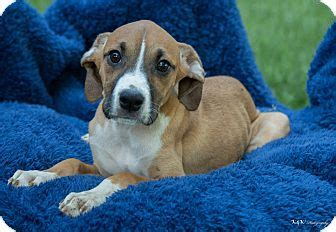 boxer puppies indianapolis boxer beagle mix puppy for adoption in indianapolis indiana greg