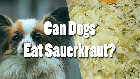 can dogs eat sauerkraut can dogs eat sauerkraut pet consider