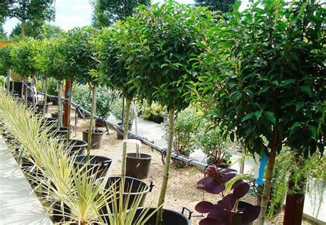 portuguese laurel topiary topiary trees for sale uk nationwide delivery