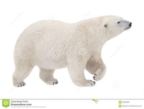polar stock photo image of clubfooted 30939666