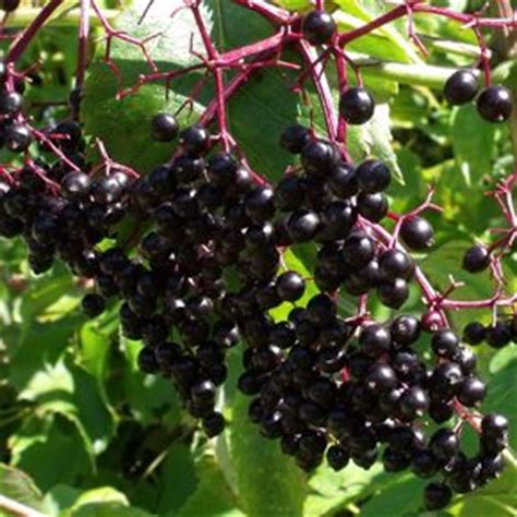 fruit trees for zone 4 17 best images about fruit trees and bushes zone 4 on