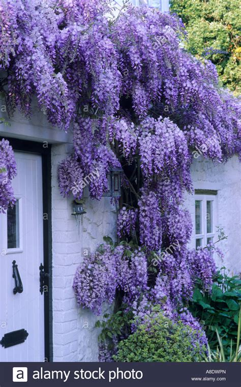 climbing plant with purple flowers white cottage front with purple wisteria climbing plant