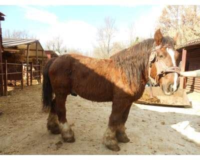 cavalli da carrozza in vendita cavalli in vendita equiblog it pagina 54