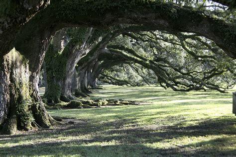 trees oak alley foundation