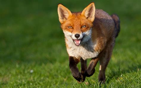 be like the fox cute and beautiful fox pictures incredible snaps