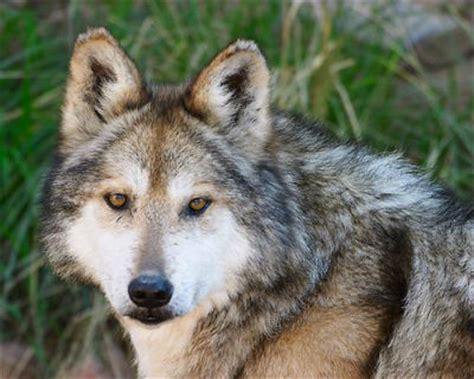 animal ship ca interesante saber vinculos el lobo mexicano atractivos turisticos de mexico