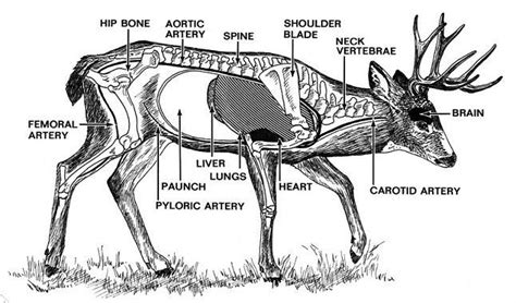 where to shoot a deer diagram top 5 best places to shoot a deer and kill it instantly