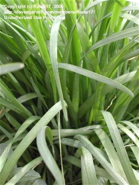 plantfiles pictures allium species asian chives chinese