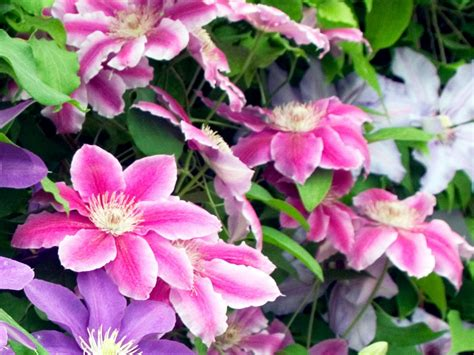 How To Garden Flowers How To Plant A Clematis Hgtv