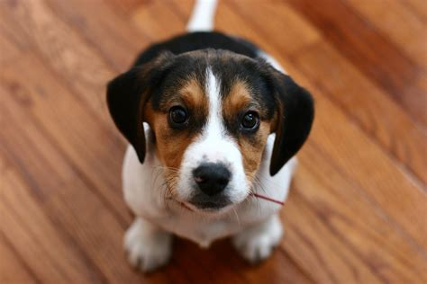 buy beagle puppy beagle puppy pictures