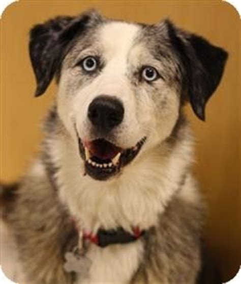 puppies for adoption portland oregon dogs for adoption australian shepherd mix and portland oregon on