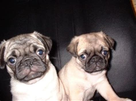 what pugs used to look like what pugs used to look like before inbreeding pics