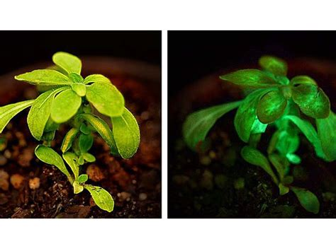 glow in the plants glow in the plants ods