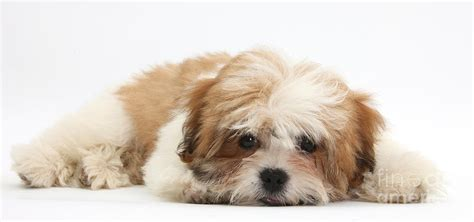 shih tzu mix with maltese maltese shih tzu mix puppy lying photograph by