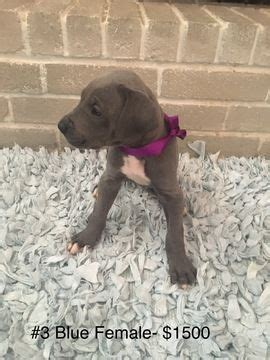 great dane puppies for sale in oklahoma best 25 great dane for sale ideas on grey great dane great dane colors