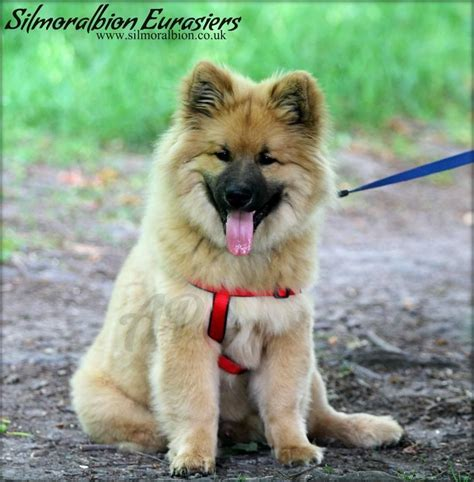 eurasier puppies for sale eurasier puppies ready november 2013 hornchurch essex pets4homes