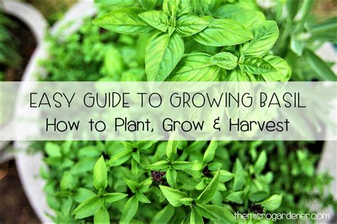 how to grow a herb garden easy guide to growing basil the micro gardener