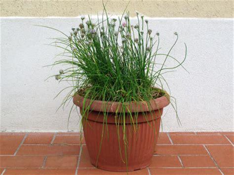 erba cipollina in vaso erba cipollina forum di giardinaggio it