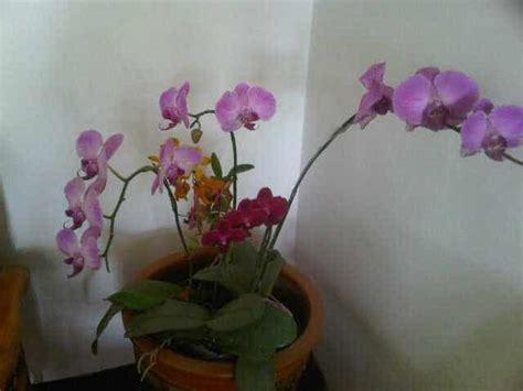 Anggrek Pink by Jual Tanaman Anggrek Phalaenopsis Pink Bibit