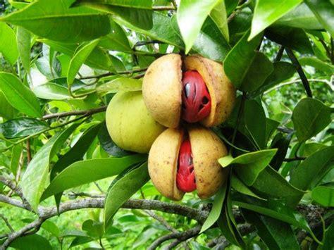 panduan lengkap cara budidaya tanaman buah pala prospek